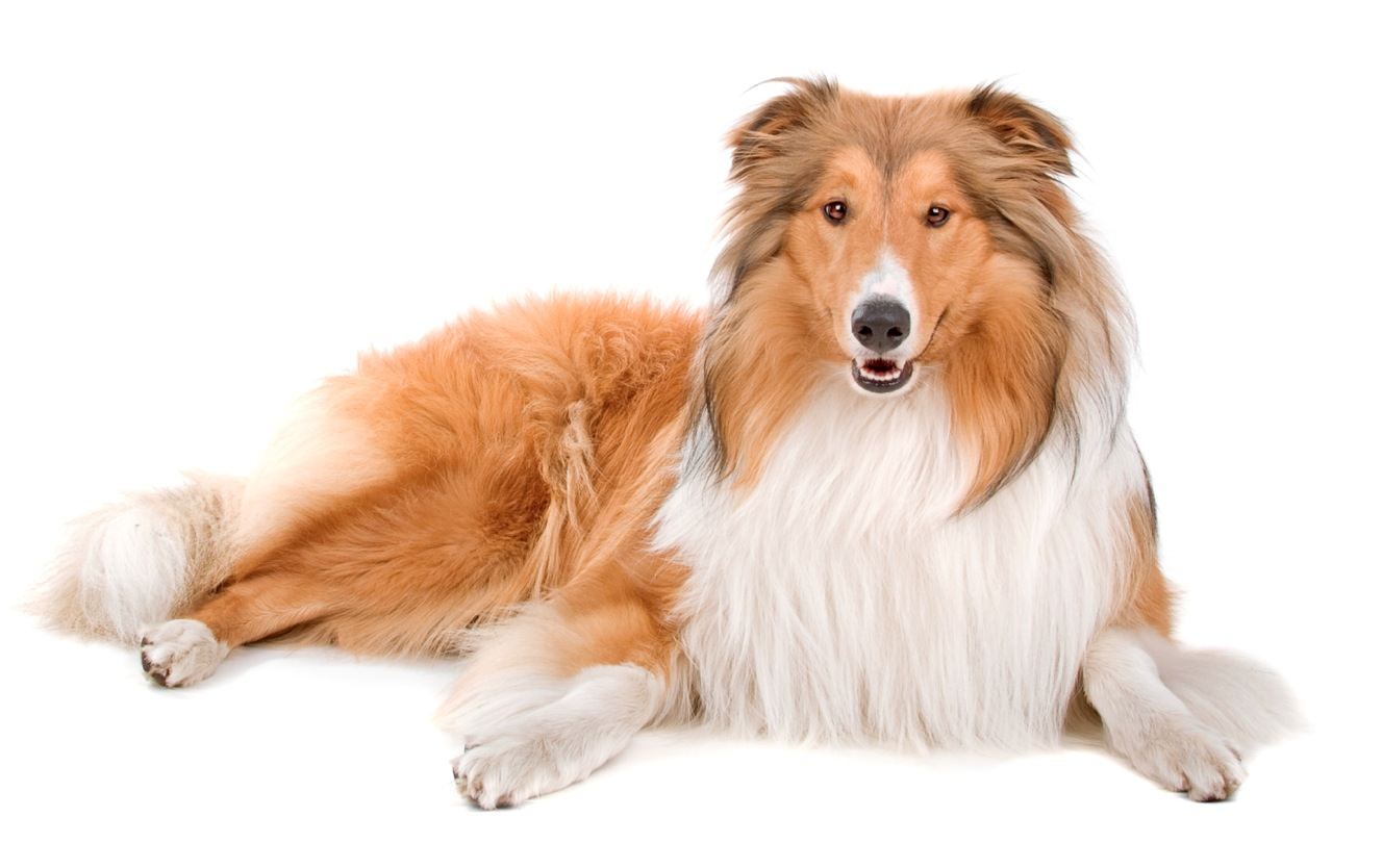 Nourriture pour chiens de grandes races
