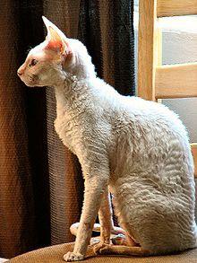chat plaque sans poil