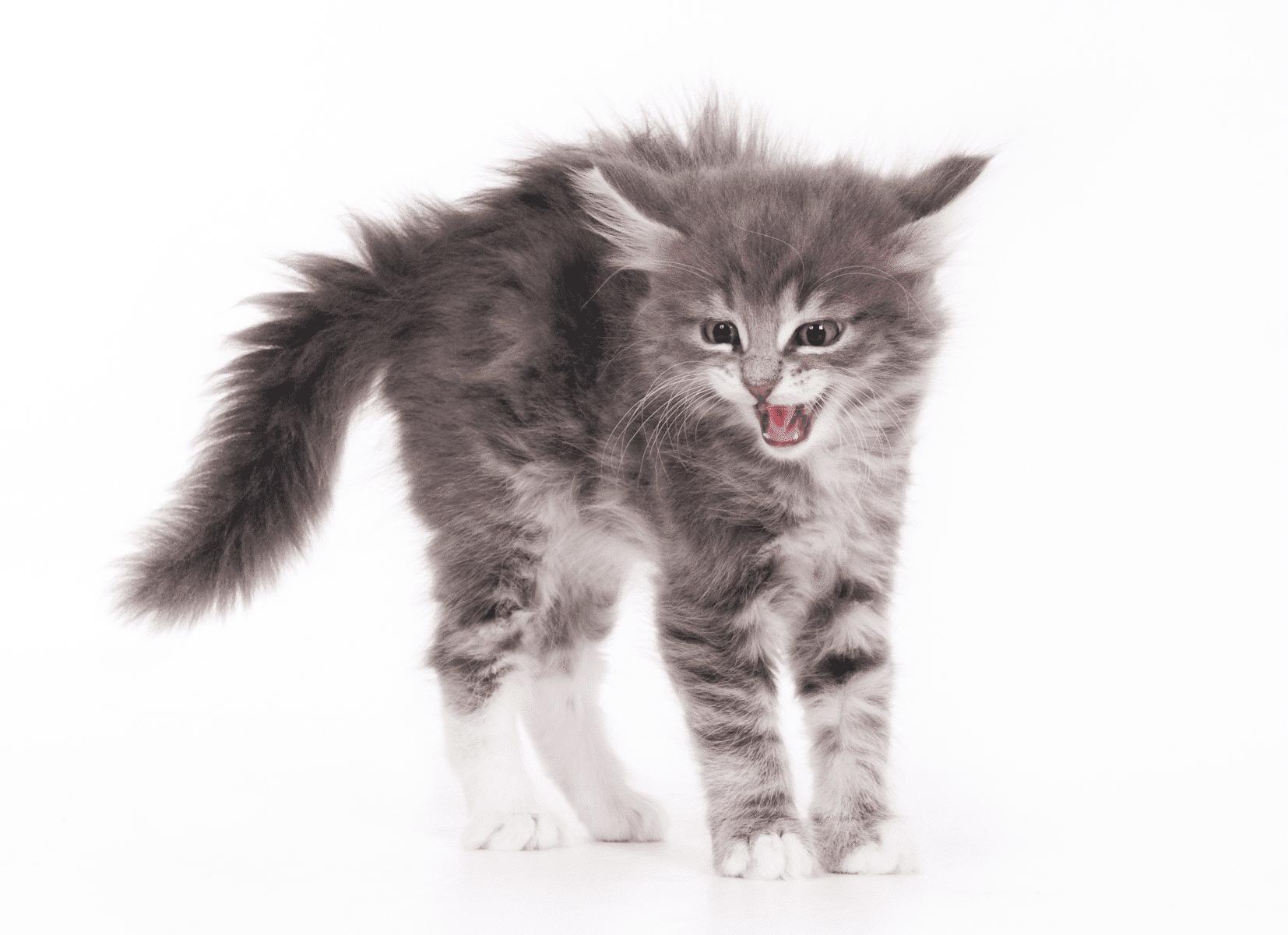 Chat | 5 indices que votre chat est stressé| Oven-Baked Tradition